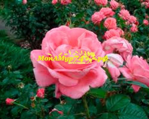 Купили розы? Вырастите их!