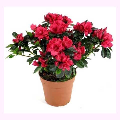 Магазин МонАМур доставка цветов Чеелябинск Азалия Индика Красная