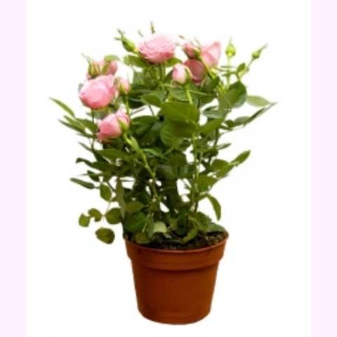 Роза Комнатные растения Горшечка цветочный магазин
